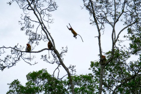 Yee-haa! Photo taken in or around Labuk Bay Proboscis Monkey Sanctuary, Sandakan, Malaysia by Sally Arnold.