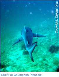 Shark at Chumphon Pinnacle, Ko Samui, Thailand
