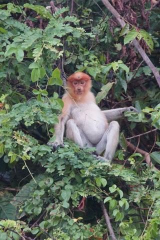 Photo of Labuk Bay Proboscis Monkey Sanctuary