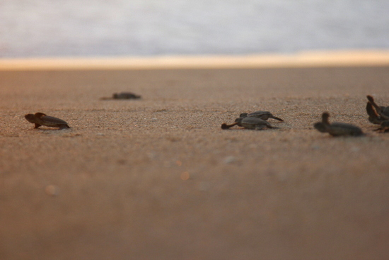 Turtle hatchlings running for the ocean
