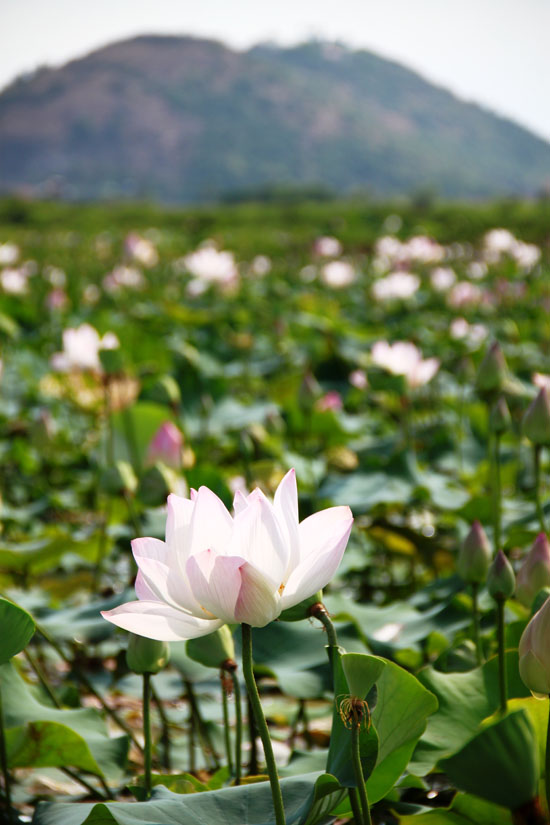 Lotus flowers with Phnom Krom behind.