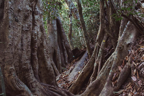 Full of winding, climbing fig trees, whose roots appear to have been designed specifically to trip you up.
