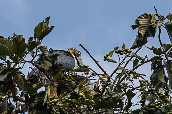 Greater adjutant making himself comfortable in the trees.