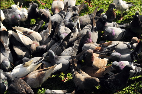 Rather a lot of pigeons