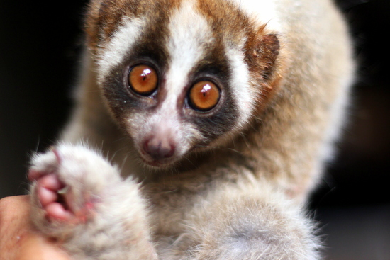 The sorrowful stare of an endangered Javan Slow Loris reminds us of the plight of many animals within the bird markets of Jakarta