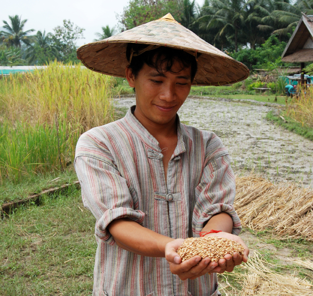 growing rice
