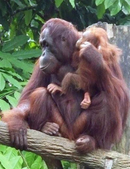 Take your little monkeys to the Singapore Zoo.