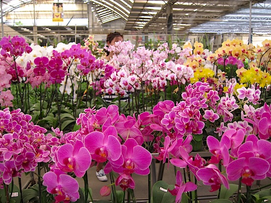 One of the best and biggest orchid markets in Thailand.
