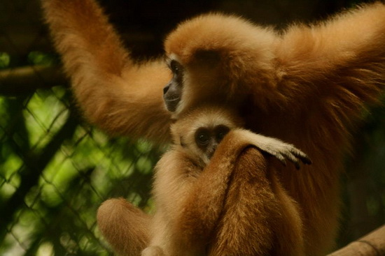 Bambam and Peepoo are among the gibbons set to be released into the wild in a GRP pilot project in Chiang Mai.