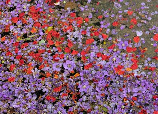 Flower petals fill up a Chiang Mai canal over Songkran.
