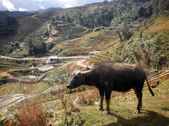 A buffalo contemplates the scenery.
