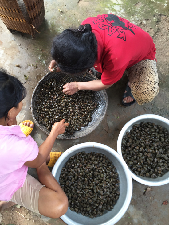 Sorting snails: small snails would get 10,000 dong/kg at the market, large ones 15,000 dong/kg.